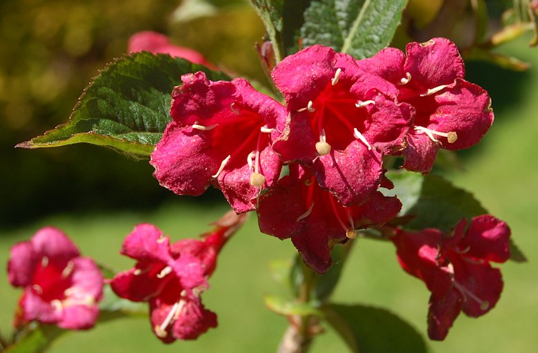 Spectacular colours of our weigela 'Bristol Ruby'