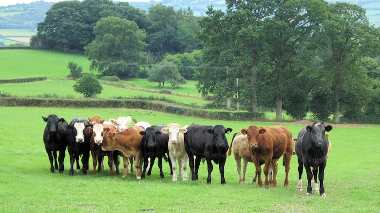 Group of curious cattle at Clifford, Herefordshire: 20th August 2013