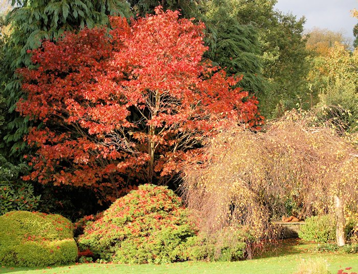 Our Japanese maple was particularly colourful this year: 2nd November 2013